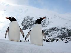 Gentoo Penguins (D-Stanley) Tags: penguins gentoo antarctica cuvervilleisland