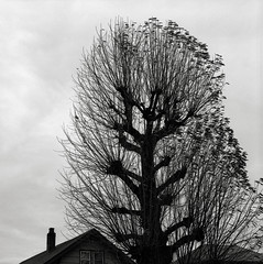 Portland (austin granger) Tags: winter tree film home square portland bare mind trunk fractal stark stripped barren dendrites gf670 austingranger