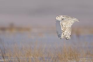 Snowy Owl - UP Michigan