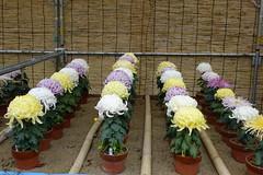 (ddsnet) Tags: travel plant flower japan sony cybershot  nippon  kansai  chrysanthemum nihon  backpackers    wakayamaken     rx10   wakayamashi  flowerinjapan