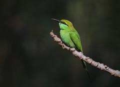 Green bee-eater (tareq uddin ahmed) Tags: green nature canon wildlife usm bangladesh beeeater birs merops 70d orientalis