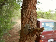 044-Kruger NP (dasypeltis) Tags: southafrica frog treefrog krugernationalpark xerampelina chiromantis chiromantisxerampelina southernfoamnesttreefrog