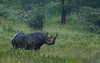East African Black Rhino Bull in the rain. (Rainbirder) Tags: kenya lakenakuru dicerosbicornismichaeli eastafricanblackrhinoceros rainbirder