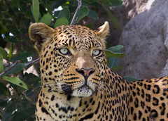 The eyes were the most amazing ... (yoospics) Tags: male eyes wildlife delta leopard botswana okavango kwetsani