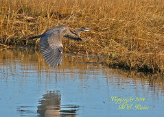 Great Blue Heron (1 of 4) at Edwin B Forsythe National Wildlife Refuge in Galloway (commonly referred as Brigantine) New Jersey (takegoro) Tags: b reflection heron nature birds reeds wildlife wetlands marsh brigantine preserve sanctuary edwin refuge galloway nwr new jersey great national refuge blue forsythe