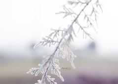 ((((AnaLis)))) Tags: naturaleza detalle 50mm nikon desenfoque invierno frio hielo palencia cencella d7000 naturalezacautivadora