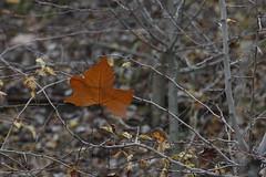 Soledad. (julyrioja) Tags: autumn brown hoja branch campo otoño lonely soledad marron rama trescantos