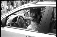 (Road Dog) (Robbie McIntosh) Tags: leica blackandwhite bw dog film monochrome car analog 35mm eyecontact streetphotography rangefinder bn negative ilfordhp5 400 raul hp5 mp analogue pushed summilux ilford biancoenero argentique 1600iso dyi selfdeveloped pellicola analogico leicamp microphen leicam filmisnotdead autaut leicasummilux35mmf14i leicasummilux35mmf14 summilux35mmf14preasph summilux35mmf14i