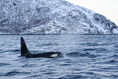 _DSC7030_DxO (Seb Quesson) Tags: mer norway back fjord whales orca bosses tromso norvège baleines orque