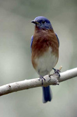 blue_bird copy