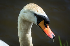 DSC_0038  - The waiting game (SWJuk) Tags: uk light england sunlight bird home closeup canal spring swan nikon unitedkingdom britain outdoor lancashire gb cob waterdroplets towpath lightroom 80200mm burnley leedsliverpoolcanal 2016 d7100 maleswan adultswan rawnef swjuk nikond7100 may2016