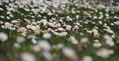Meadow at Pahalgam (Debmalya Mukherjee) Tags: flowers soft bokeh meadows jammuandkashmir pahalgam 18135 canon550d debmalyamukherjee