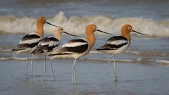Fencing Team (gseloff) Tags: bird beach texas wildlife americanavocet wader galvestoncounty houstonaudubonsociety gseloff bolivarflatsshorebirdsanctuary