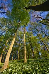 ground and sky (w-venne) Tags: forest sunrise buchenwald spring pflanze blte bume frhling teutoburgerwald weitwinkel ramson brlauch polfilter frhblher