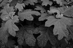 20160523_DP0Q2903 (NAMARA EXPRESS) Tags: street blackandwhite plant monochrome japan leaf cloudy outdoor sigma osaka foveon quattro toyonaka dp0 namaraexp