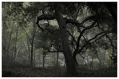 ANF_0228 (Thomas Willard) Tags: california foothills tree forest oak angeles national
