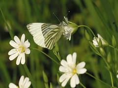 Pieris napi (Tim Worfolk) Tags: butterfly greenveinedwhite topsham pieridae pierisnapi