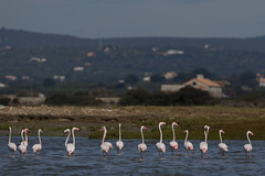 Greater Flamingoes (ToriAndrewsPhotography) Tags: trip portugal flamingoes photography boat andrews harbour greater algarve tori argel fuseta