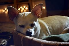 Peaceful Sleep (Explored) (Wattees) Tags: dog chihuahua bokeh sleep