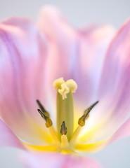 (theresa.brown1976) Tags: life flowers flower macro nature beautiful beauty yellow closeup canon wonderful outside outdoors flora tulips blossom outdoor earth blossoms tulip stunning alive lovely elegant upclose oink naturewalk macrophotography planetearth floer