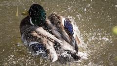 Stockenten (Zarner01) Tags: water birds animals digital canon germany deutschland eos is wasser stm efs wsche putzen tier vogel mecklenburgvorpommern kcken stockente gstrow 55250 canoneos750d