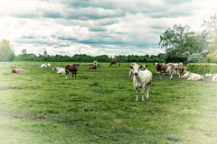 Cows in the meadow (Janne Fairy) Tags: green eye nature animals canon tiere kuh cow cows outdoor lawn meadow wiese contact khe canon500d eos500d