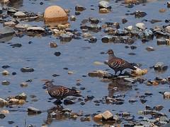 Oriental turtle doves () (Greg Peterson in Japan) Tags: birds japan wildlife rivers shiga jpn moriyama shigaprefecture otherbirds yasugawa rittocity