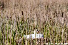 Hiding Swan (Bart Weerdenburg) Tags: bird nature swan natuur riet flevoland vogel zwaan oostvaardersplassen