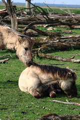 Oostvaardersplassen (natas0320) Tags: horses horse holland nature thenetherlands wildhorses lelystad takingpictures oostvaardersplassen horsesinthewild takingfotos natureonyourdoorstep