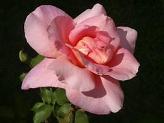 DSC00689 (gregnboutz) Tags: flowers roses flower macro rose pinkflower macros springflowers brightflowers pinkrose pinkflowers macroflowers pinkroses macroflower bloomingflower bloomingflowers macrorose macroroses colorfulmacros