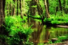 Enchanted forest (Bilderwense) Tags: fern green nature rural creek river germany landscape deutschland 50mm countryside nikon europa europe outdoor walk natur pflanze hike bach nikkor f18 fluss landschaft wald baum farn lneburgerheide wanderweg norddeutschland niedersachsen soltau lndlich heiter wietzendorf d5000 nikond5000 heidschnuckenweg