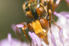 Slurp (AlexandreBozier) Tags: macro nature insect high zoom sony insecte magnification
