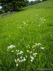 Meadow Saxifrage (Roger B.) Tags: unitedkingdom sheffield rivelinvalley southyorkshire meadowsaxifrage saxifragagranulata lws015millstoneedgeroughandfields