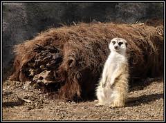 (Caro Rolando) Tags: animales temaiken zuricatas