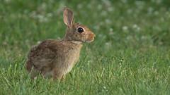 Wild Bunny of Wilson Point ... (ken.krach (kjkmep)) Tags: bunny maryland