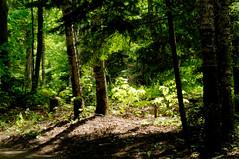 View from the Trail (joeldinda) Tags: vacation tree june forest woods nikon michigan shadowplay upperpeninsula lightandshadow attractions d300 2016 tahquamenonfallsstatepark 3145 nikond300