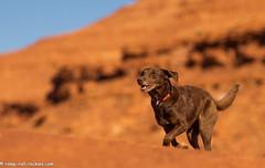 Desert Sprint in the Sun (KB RRR) Tags: dog chocolatelabrador shyla