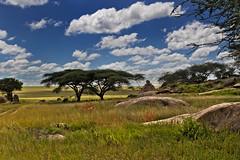 Gol Kopjes 9-51 (Grete Howard) Tags: golkopjes kopje serengeti tanzania safari safariinafrica bestsafarioperator bestsafaricompany whichsafaricompany whichsafarioperator animals animalphotos animalsofafrica africa africansafari africanbush africananimals animal birds birdwatching birding gamedrive