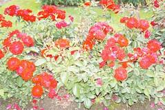 11224441_10153099670567076_6548470346534695901_o (jmac33208) Tags: park new york roses rose garden central schenectady