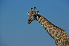 Giraffe (alisdair jones) Tags: africa park neck giraffe namibia etosha ef70200mmf28lisusm2xiii