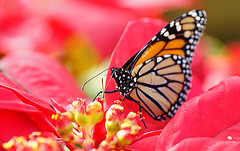 Butterfly on Poinsettia (judith511) Tags: butterfly poinsettia naturethroughthelens