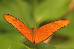 Butterfly (K.Verhulst) Tags: butterfly insect rotterdam blijdorp vlinders vlinder blijdorpzoo diergaardeblijdorp vlindertuin amazonica