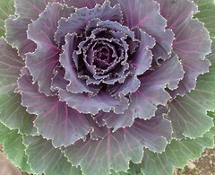 Organic Cabbage Geometry (Jhaan) Tags: geometric design novel organic throughthelookingglass lewiscarroll ohenry thewalrusandthecarpenter naturallyoccurring andcabbagesandkings