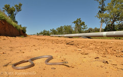 Yellow-faced Whip Snake (Demansia psammophis) (Mattsummerville) Tags: snake australia queensland pipeline venomous csg whipsnake yellowfacedwhipsnake demansiapsammophis elapid cockatoocreek coalseamgas