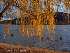 Golden Days,  Lake Burley Griffin , Canberra (BRDR images) Tags: australia autumnleaves canberra australiancapitalterritory autumnincanberra