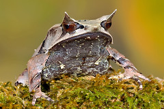 Malaysian Leaf Frog, CaptiveLight, Bournemouth, UK (rmk2112rmk) Tags: uk macro bokeh amphibian frog bournemouth herps hornedfrog captivelight megophrysnasuta malaysianleaffrog