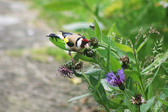 Chardonneret lgant (Mariie76) Tags: nature fleurs rouge noir animaux blanc feuilles verdure oiseaux centaurea carduelis centaure lgant chardonneret bleues passereaux