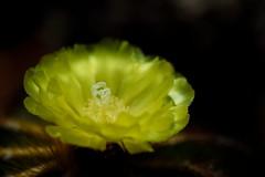 flower 885 (kaifudo) Tags: flower japan sapporo nikon hokkaido sigma  d750 botanicalgarden  cactusflower  150mm  sigmaapomacro150mmf28