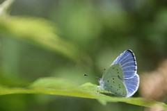 Bluling (3/3) (Vasquezz) Tags: blue butterfly insect bokeh blau insekt schmetterling lycaenidae bluling coth fantasticnature alittlebeauty coth5 sunrays5