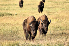 No Where To Go And All Day To Get There (David C. McCormack) Tags: rural buffalo wildlife wyoming nationalparks bison grandteton jacksonhole grandtetonnationalpark americanbison jacksonwyoming